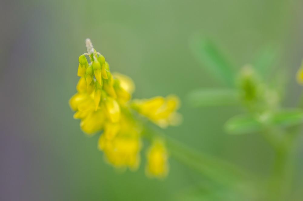 Steinklee gelb