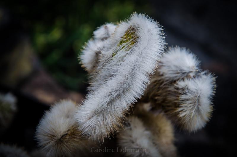 Kaktus mit vermehrtem Haarwuchs