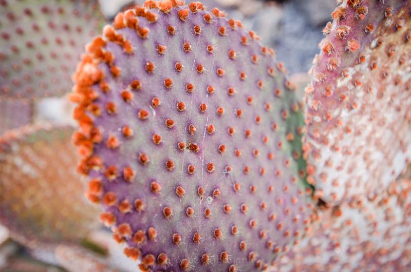Rothaariger Kaktus
