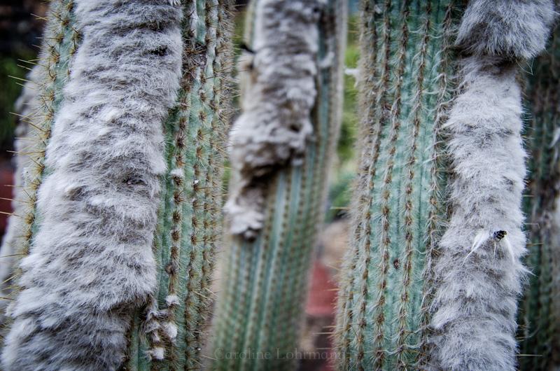 Fell Kaktus Lanzarote
