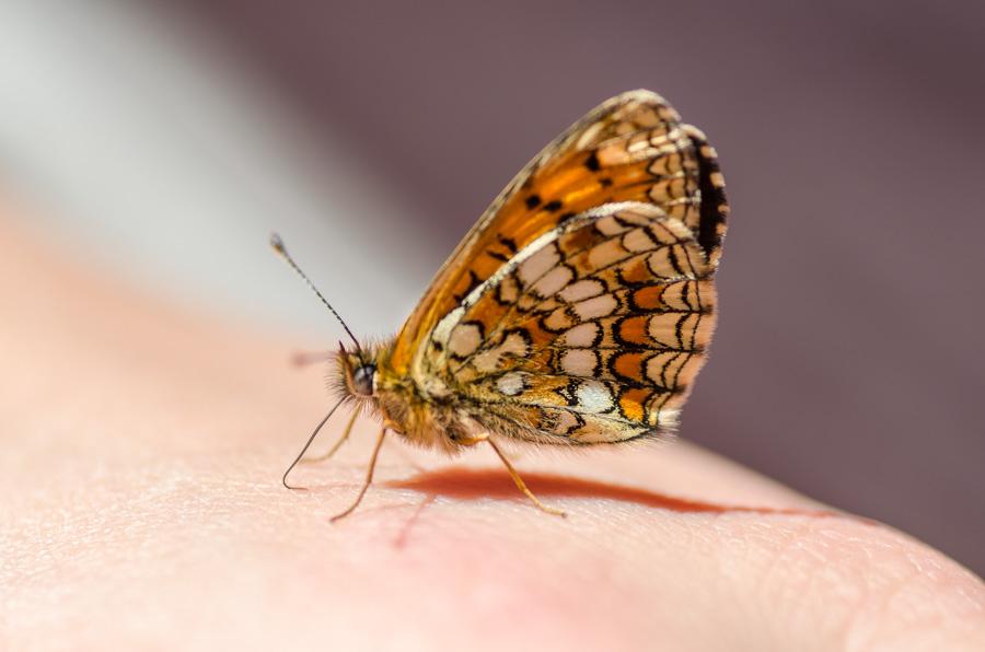 Schmetterling Lungau
