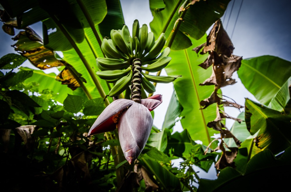 Bananenherz essbar